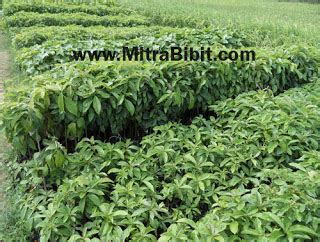 Bibit Alpukat California cv mitra bibit bibit tanaman buah the knownledge