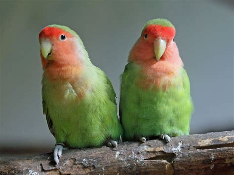 7 reasons to get a pet lovebird coops and cages coops