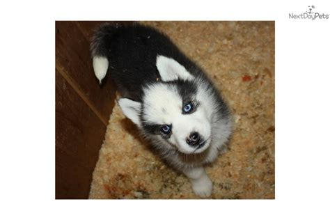 husky puppies for sale in ct siberian husky puppy for sale near northwest ct connecticut 69d21dfe 0681
