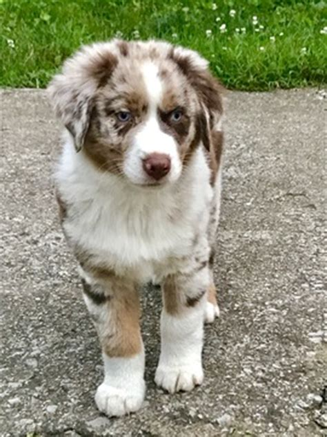 australian shepherd puppies kentucky view ad australian shepherd puppy for sale kentucky usa