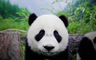 bing wallpaper panda bear