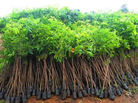 Jual Bibit Anggur Di Probolinggo jual bibit pohon tanaman sedia aneka bibit pohon