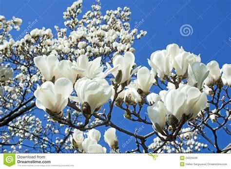 imagenes de magnolias blancas fleur blanche de magnolia images libres de droits image