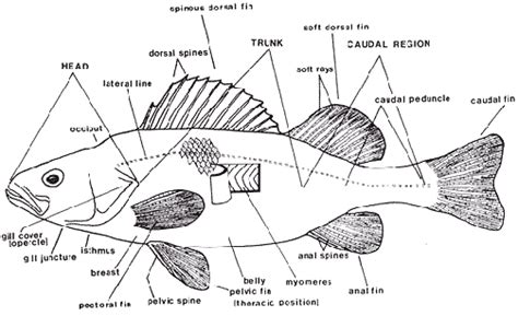a diagram of a fish tropical fish anatomy