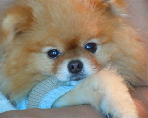 pomeranian and allergies pomeranian facts and information viovet