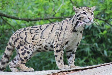 Sepasang Baby Blacan Kucing Hutan jenis jenis kucing hutan dan penjelasannya sejujurnya