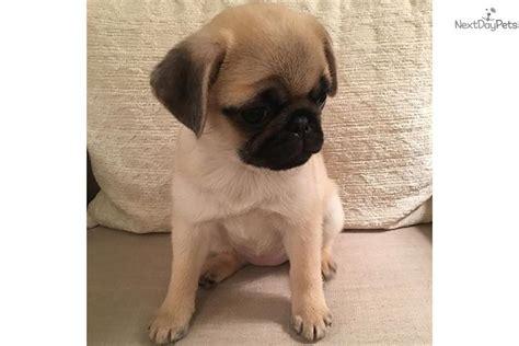 pug puppies houston pug puppy for sale near houston 0e2654fb 2631