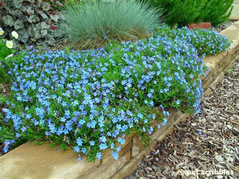 small perennial border plants the shed by pet scribbles blue perennial flowers try lithodora