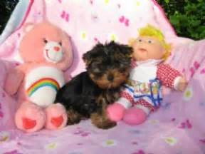 yorkie puppies for sale in west palm west palm fl dogs and puppies rachael edwards