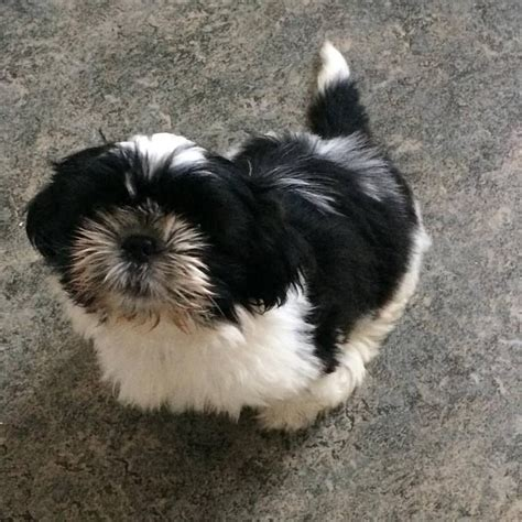 white shih tzu puppies for sale black and white shih tzu puppy for sale birkenhead