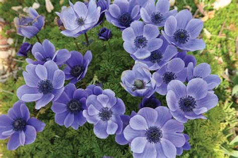 Anemone Coronaria by Brent And Becky S Bulbs