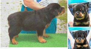 free puppies in indiana rottweiler puppies in indiana