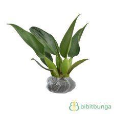 Tanaman Daun Philodendron Katak tanaman split leaf philodendron variegata jual tanaman