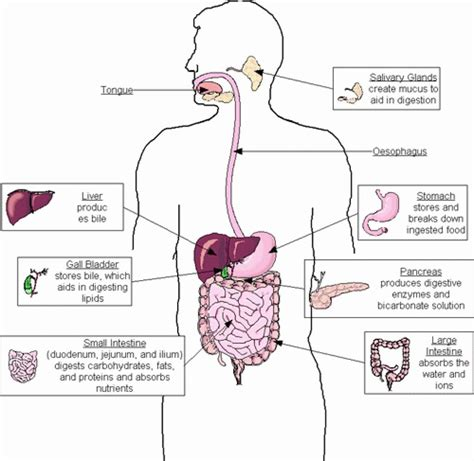 diagram and functions human digestive system diagram and functions diagram