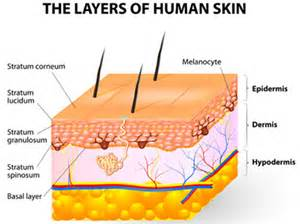 the layers of human skin 171 fashionandstylepolice