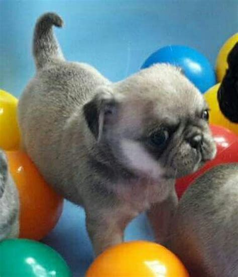 registered pug breeders black and fawn kc registered pug puppies offer mdina 250