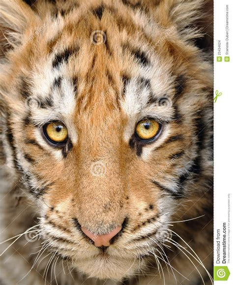 baby tiger with big tiger with images closeup baby tiger stock images image 23434624