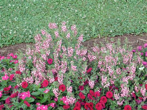 angelonia carita deep pink annual flower research at bluegrass lane