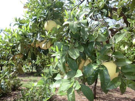 limone in vaso malattie malattie agrumi alberi da frutto agrumi malattie