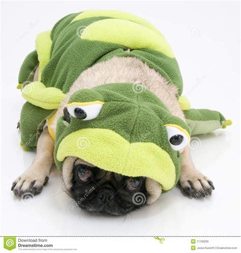 pug frog costume frog pug stock photo image 11199200