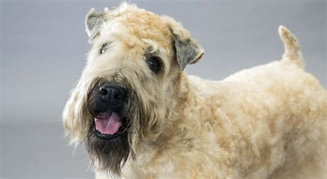 soft coated wheaten puppies soft coated wheaten terrier breed information american kennel club