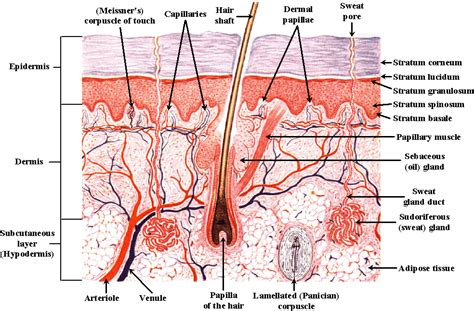 diagram of the skin vet the integumentary system