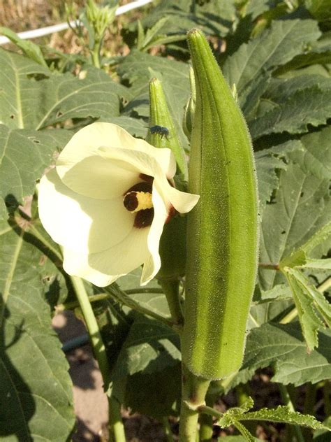 Information On Growing Okra And Harvesting Okra Plants Vegetable Garden