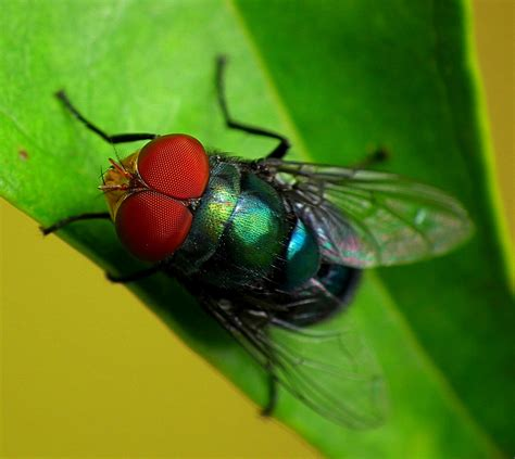 blo fly murda blow fly and bottle fly fly control pest control by
