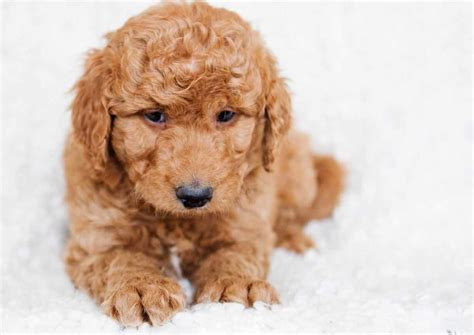 mini goldendoodles massachusetts goldendoodle puppies goldendoodle mini