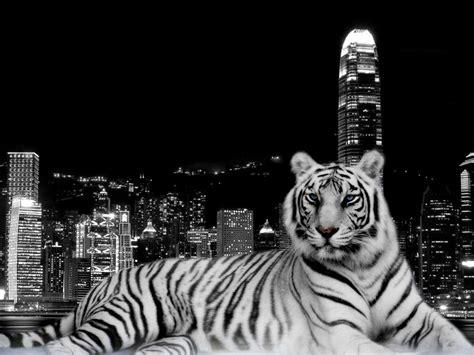 wallpaper hd black tiger tiger hd wallpapers wallpaper cave