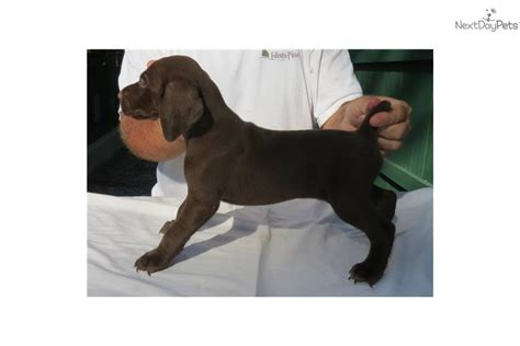 german shorthaired pointer puppies for sale in sc german shorthaired pointer puppy for sale near columbia south carolina 6d7447ab 1d81