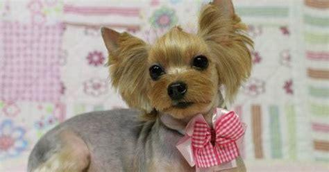 korean cut for yorkie korean dog grooming style yorkshire terri 235 r asian
