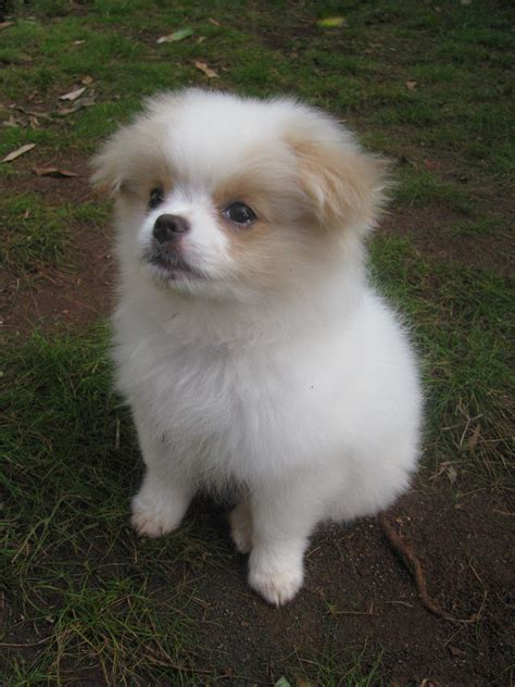chion pomeranian breeders chineranian japanese chin and pomeranian mix pictures and information