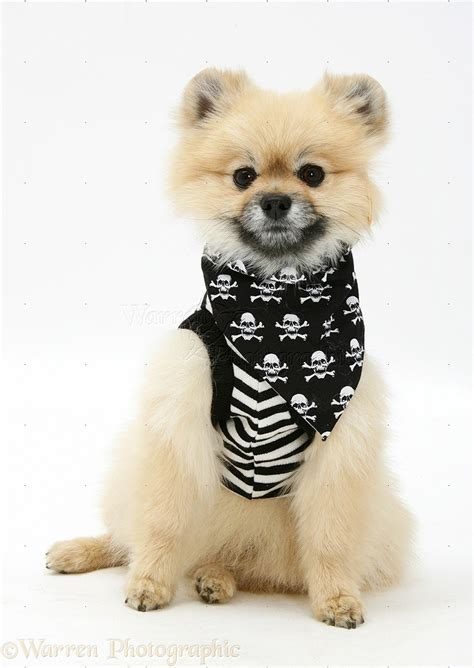 pomeranian costume pomeranian wearing pirate costume photo wp18885