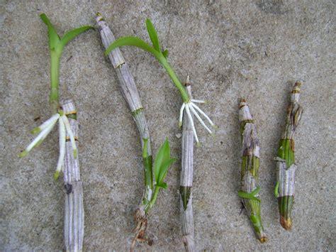 fazer plantas muda de orqu 237 dea keiki uti estufa para criar novas plantas