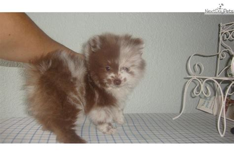 chocolate pomeranian puppy pomeranian puppy for sale near dallas fort worth 033194e7 9251