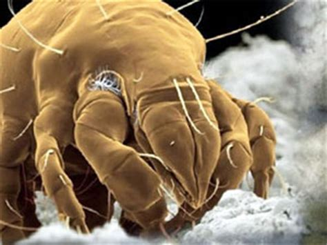 can you die from bed bugs how to get rid of mites mites species and methods of