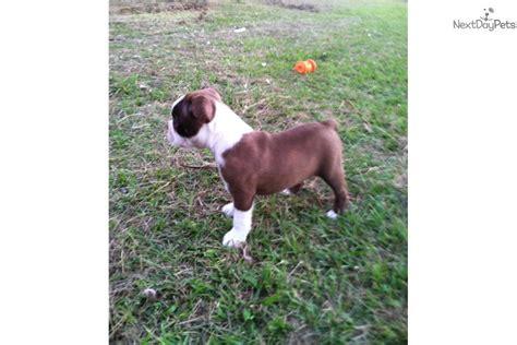 brown boston terrier puppies for sale meet rex a boston terrier puppy for sale for 600 brown boston terriers