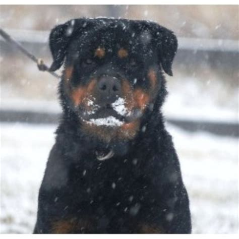 rottweiler carolina gold hill rottweiler kennels rottweiler breeder in gold hill carolina listing