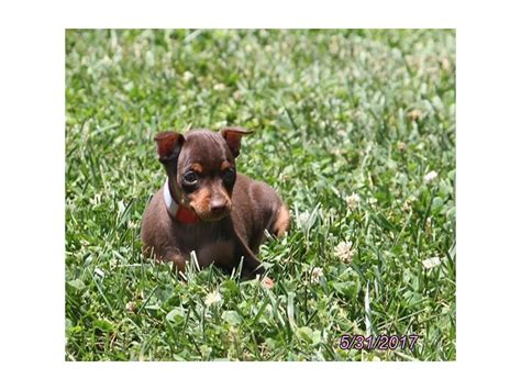 petland ohio puppies miniature pinscher petland carriage place