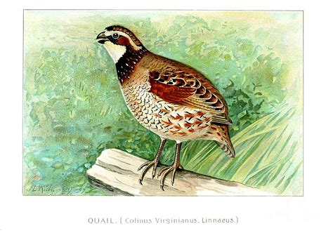 paint color quail quail painting by roysag