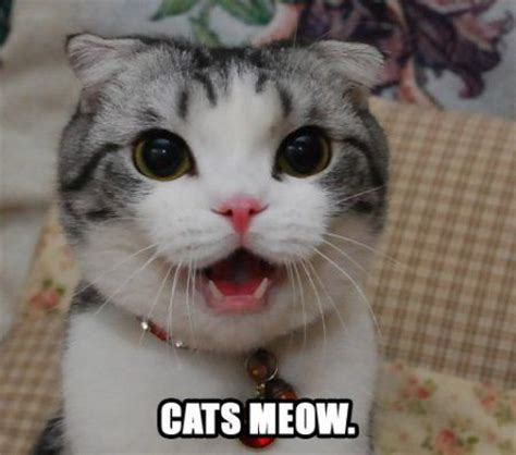 why do cats meow top reasons your cats meow best cat