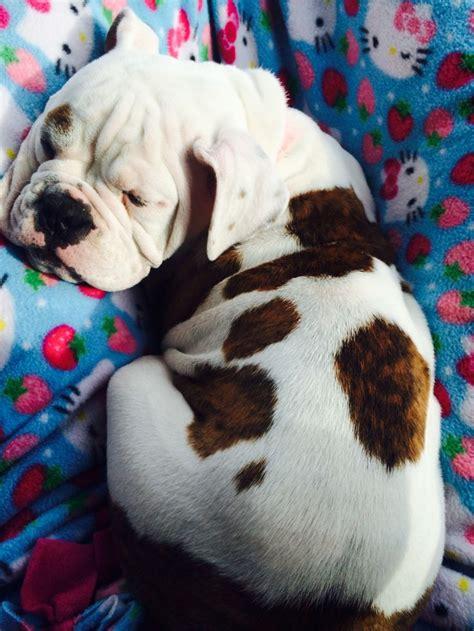 13 week puppy 13 week puppy bulldog puppys
