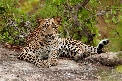 leopard  amazing animal facts animals lover