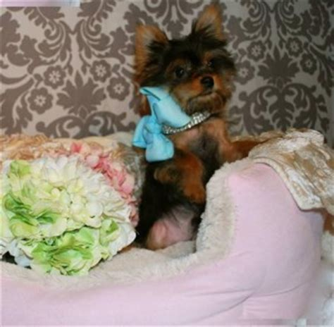 teacup yorkie puppies chicago siberian husky puppies for adoption for free chicago heights il asnclassifieds