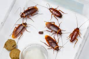 What do cockroaches eat and where do they live when there are no