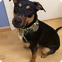 rottweiler rescue ct east hartford ct rottweiler mix meet rhodey in ct a for adoption