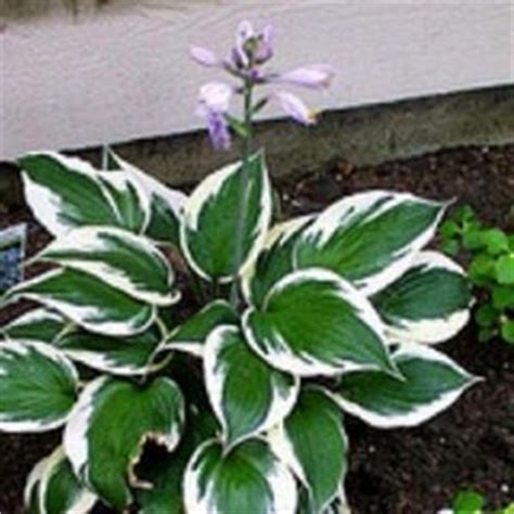 are hostas poisonous to dogs plants for total shade the home depot community