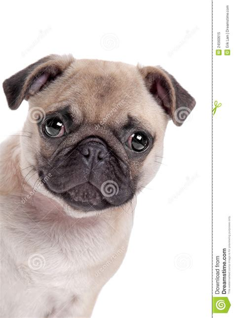 pug royalty pug on white background royalty free stock photography image breeds picture