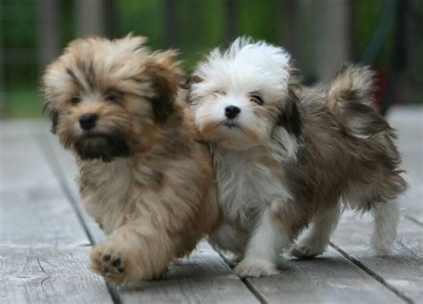 teacup havanese dogs teacup havanese pictures to pin on pinsdaddy